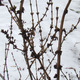 Thumb_nwg-forsythia