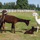 Thumb_alpacas_pedro1