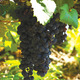 Thumb_wine-syrah-grapes-sanders