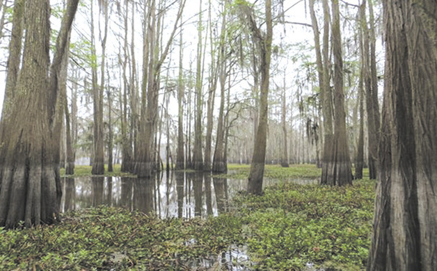 Main_image_atchafalaya_20trees