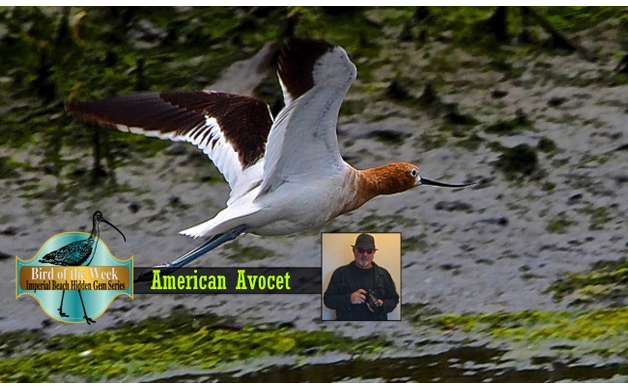 An Imperial Beach Hidden Gem and Bird of the Week the American Avocet   Dig Imperial Beach