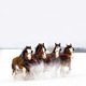 Thumb_julie_zahn_clydesdales-front