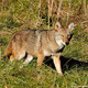 Thumb_eastern-coyote