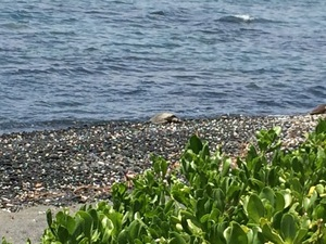 A sea turtle crawls up on shore