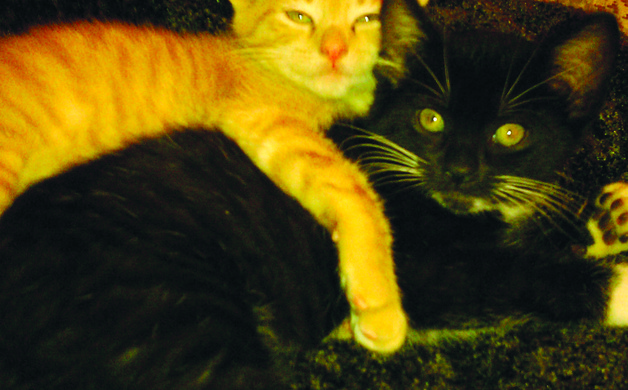 Jennifer Sciortinos cats Calvin and Hobbes started out as fosters before Sciortino adopted them two years ago