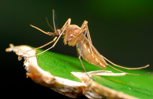 Medium_mosquito---flickr-creative-commons