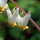 Thumb_ldensmore_ny-adk-jay-mt_-dutchman_27s-breeches-_281_29